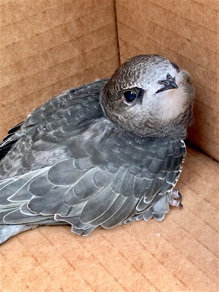 Swift chick No 93, safe in its cardboard box